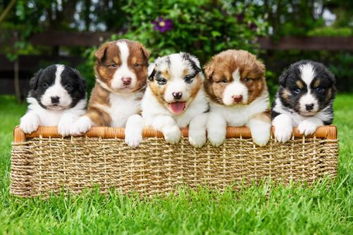 Can-a-Litter-of-Puppies-Have-Different-Dads-Petset