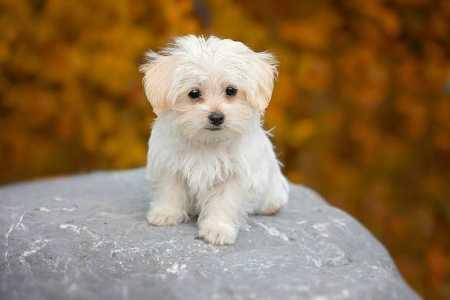 dog-white-maltese-puppy-small-fluffy-dog-breeds-pb