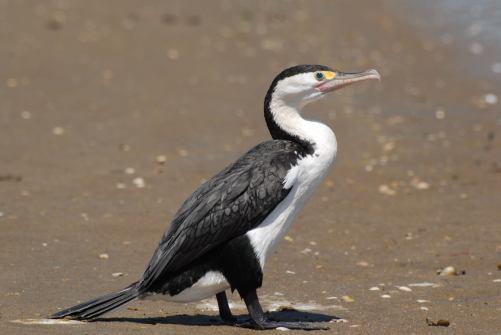 Pied Shag - Cormorant