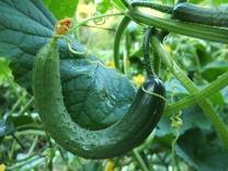 cucumber-1681504_1280